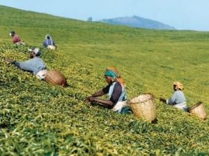 Tea Pluckers